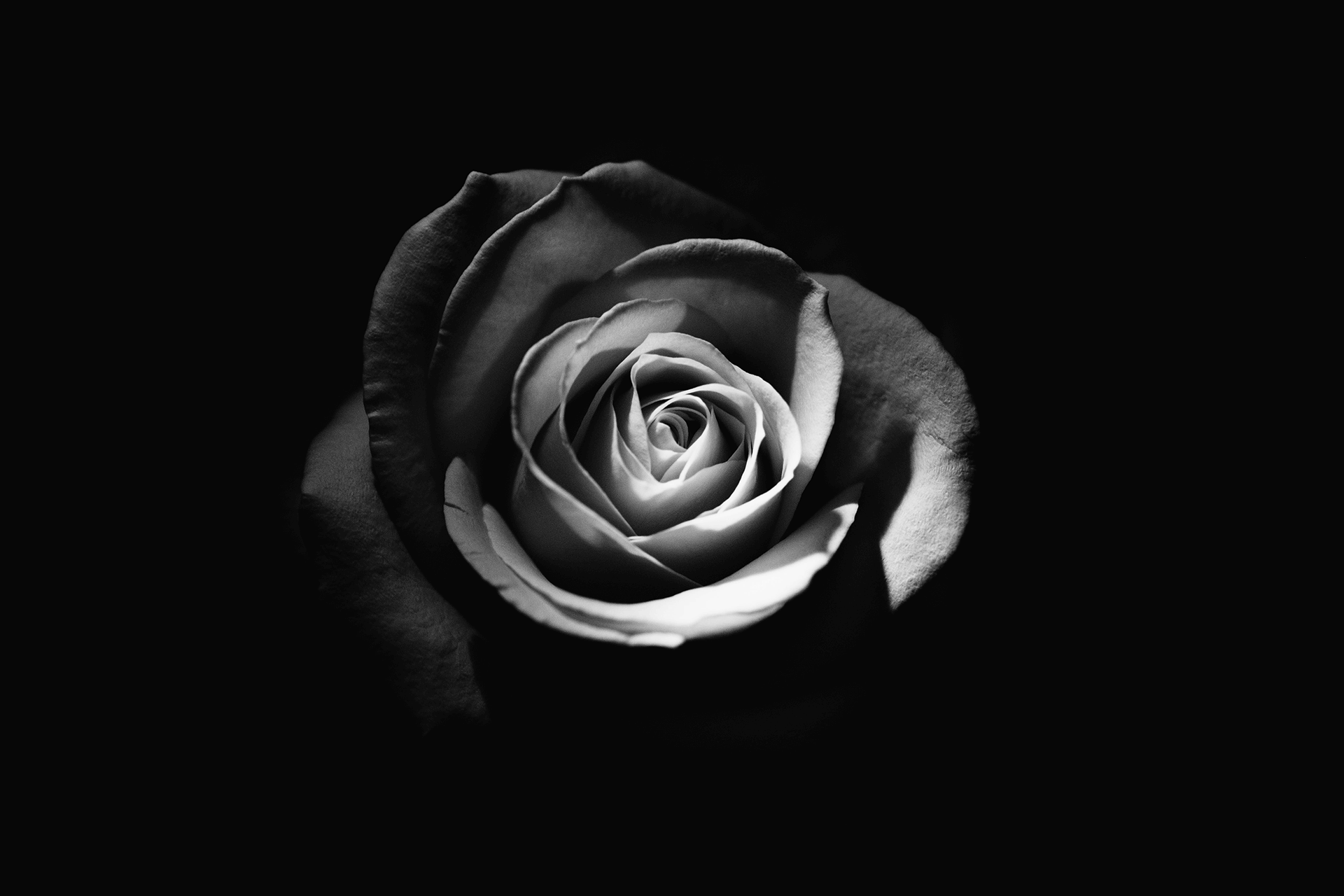 Rose - Rodion Kutsaev, Unsplash web